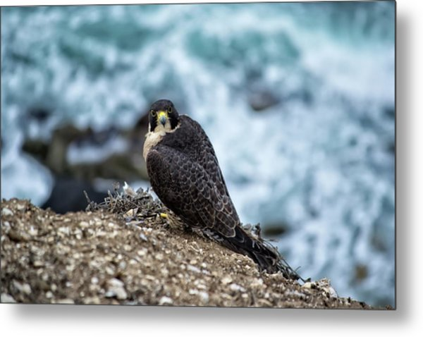 Peregrine Falcon - Here's Looking At You Metal Print