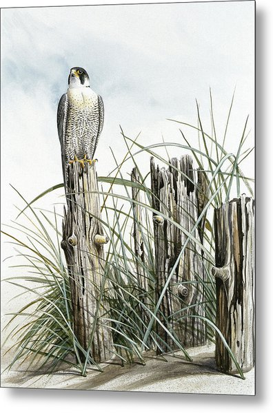 Peregrine Falcon On Post Metal Print by Dag Peterson