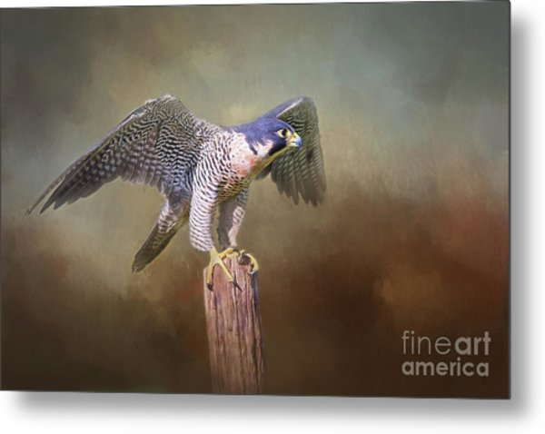 Peregrine Falcon Taking Flight Metal Print