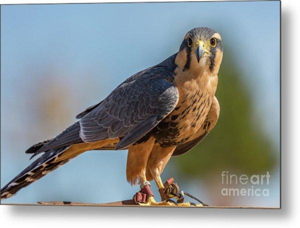 Peregrine Falcon Wildlife Art By Kaylyn Franks Metal Print