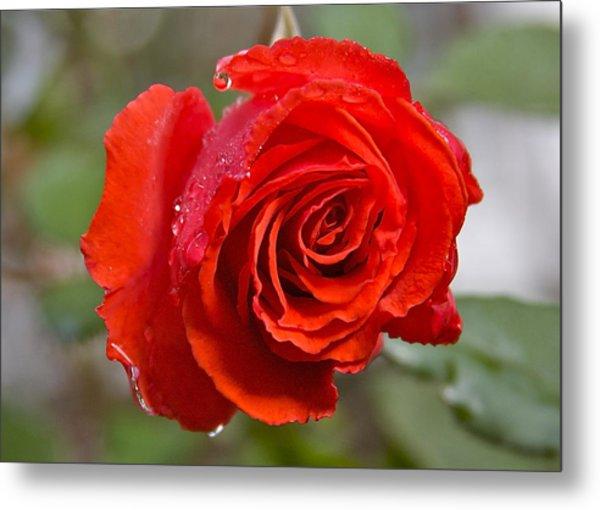 Perfect Red Rose Metal Print by Robert Joseph