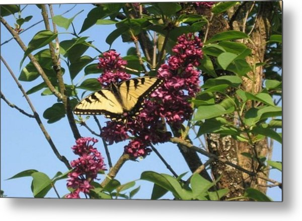 Yellow Swallowtail And Lilac Metal Print