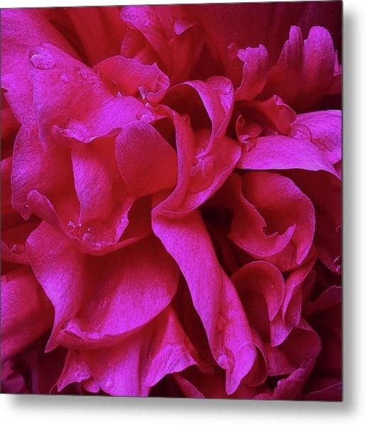 Perfectly Pink Peony Petals Metal Print