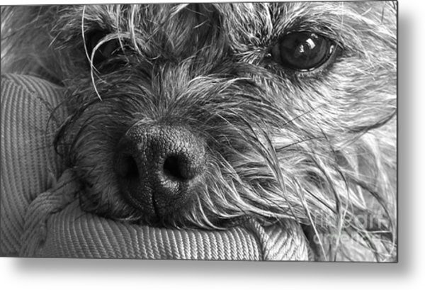 Metal Print featuring the photograph Pet Portrait - Puck II by Laura Wong-Rose