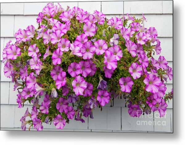 Metal Print featuring the photograph Petunias On White Wall by Elena Elisseeva