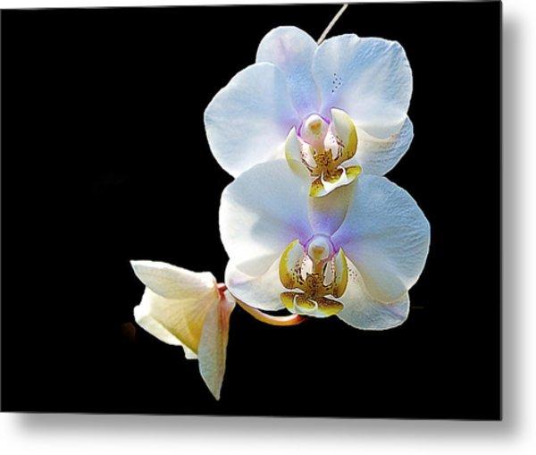 Phalaenopsis Culican #1 Nobby's Amy Shin Hua Metal Print