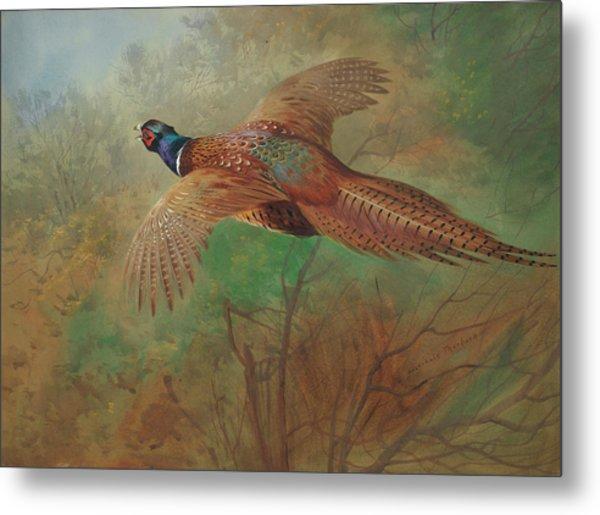 Pheasant In Flight Metal Print