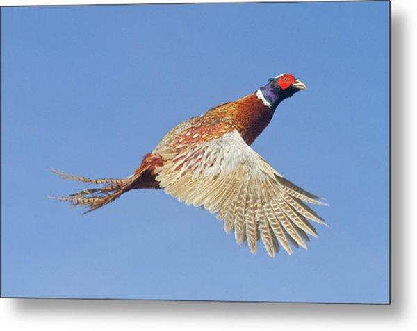 Pheasant Wings Metal Print