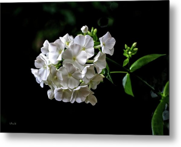 Phlox Flowers Metal Print