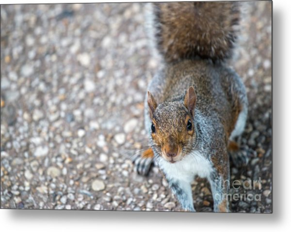 Photo Of Squirel Looking Up From The Ground Metal Print