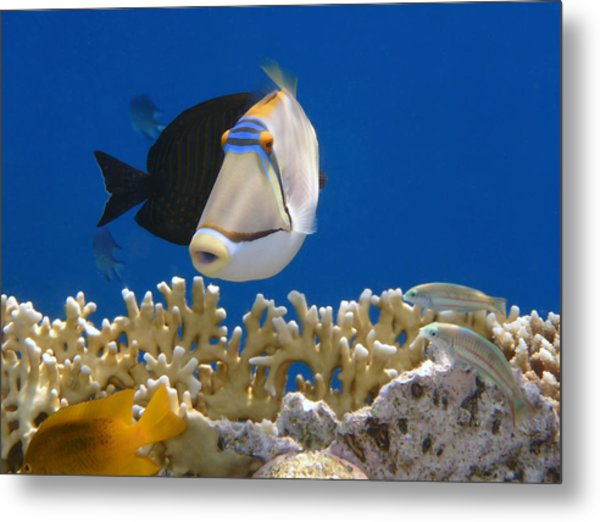 Picasso Fish And Klunzingerwrasse Metal Print