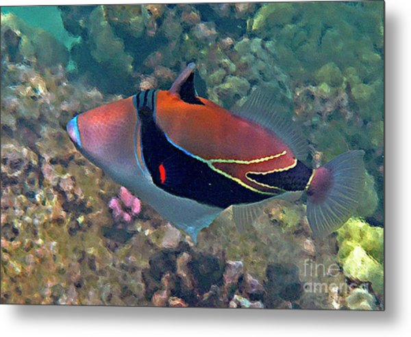 Picasso Triggerfish Up Close Metal Print