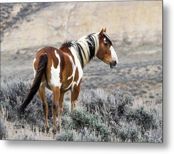 Picasso - Wild Mustang Stallion Of Sand Wash Basin Metal Print