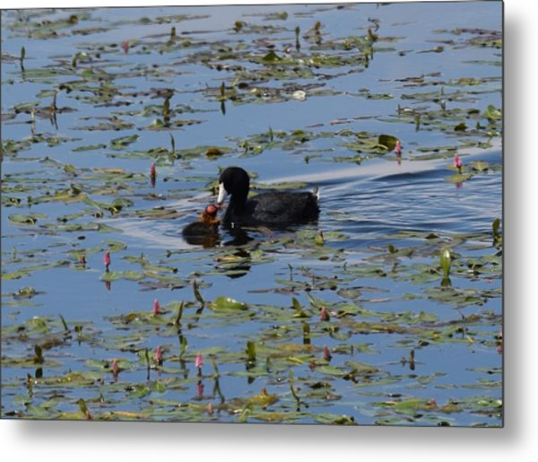 Pied Billed Grebe Lake John Swa Co Metal Print