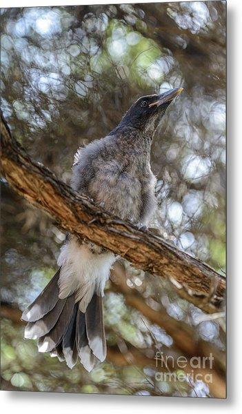 Pied Currawong Chick 1 Metal Print