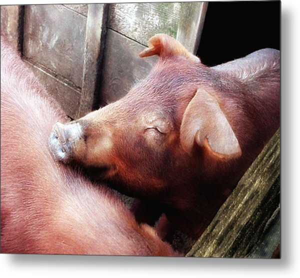 Pig Pals Metal Print by Ross Powell