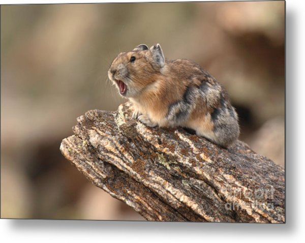 Pika Barking From Rocktop Perch Metal Print