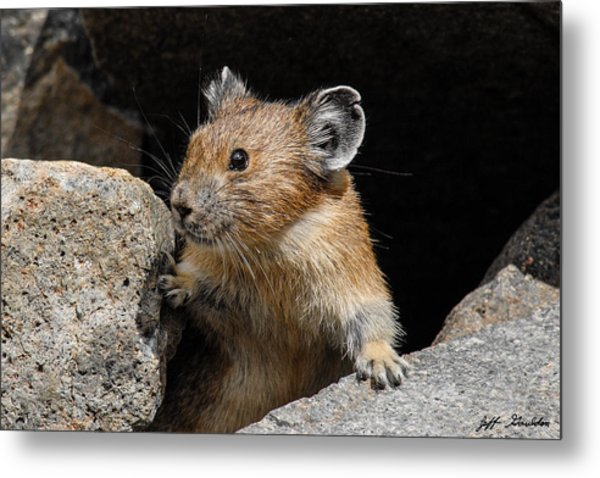 Pika Looking Out From Its Burrow Metal Print
