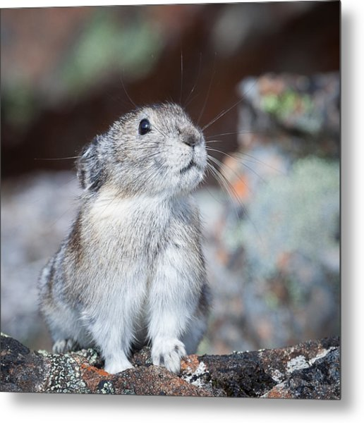 Metal Print featuring the photograph Pika Portrait by Tim Newton