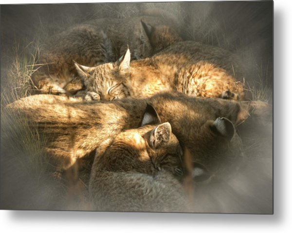 Metal Print featuring the photograph Pile Of Sleeping Bobcats by Mary Lee Dereske