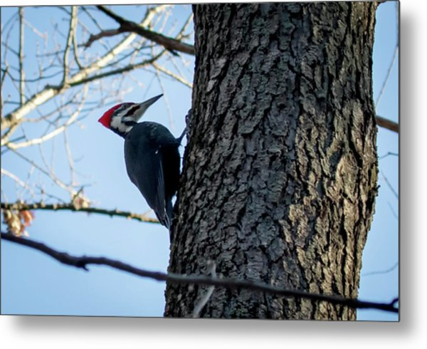 Metal Print featuring the photograph Pileated Woodpecker  by Ricky L Jones