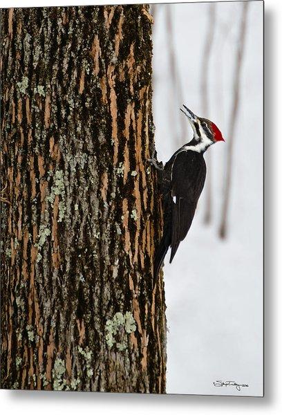 Pileated Woodpecker Metal Print