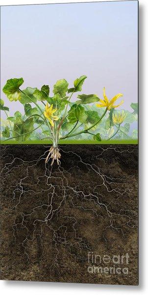 Pilewort Or Lesser Celandine Ranunculus Ficaria - Root System -  Metal Print