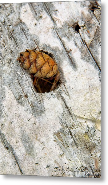 Pine Cone On Birch Bark 8021 Metal Print