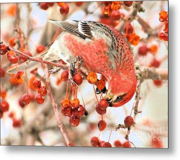 Pine Grosbeak Metal Print
