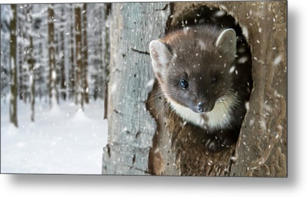 Pine Marten In Tree In Winter Metal Print