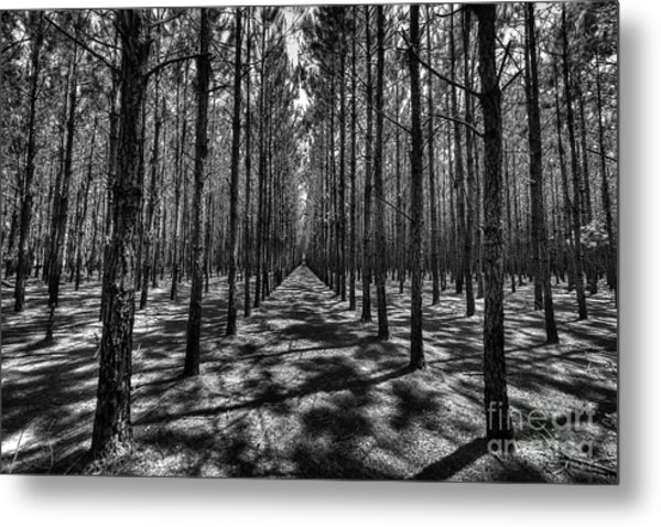 Pine Plantation Wide Metal Print
