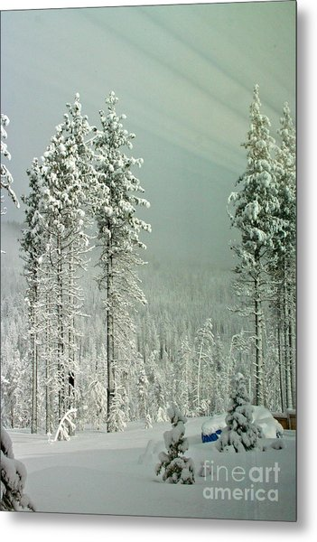 Pine Trees After The Angora Fire Metal Print by Paula Deutz