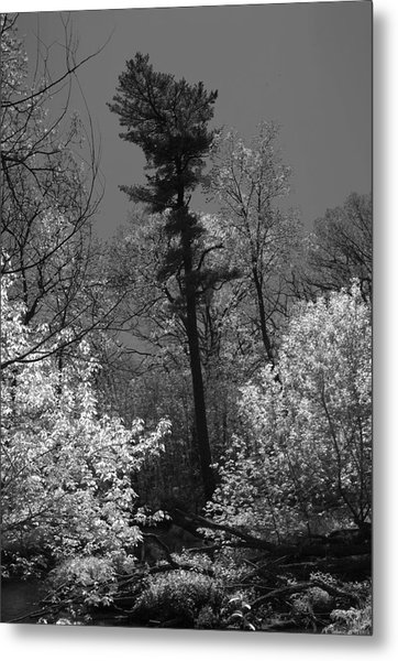 Pineing Away Metal Print