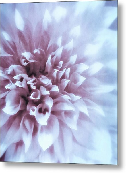 Pink And Blue Dahlia Metal Print