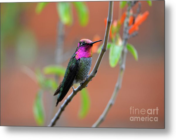 Pink And Gold Anna's Hummingbird Metal Print
