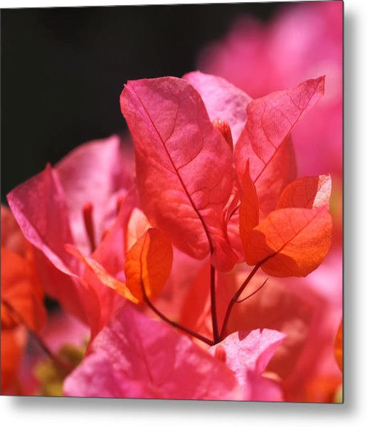Pink And Orange Bougainvillea Metal Print