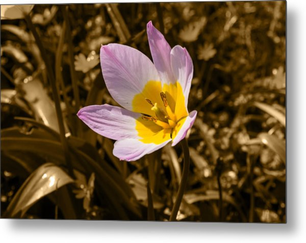 Pink And Yellow Tulip On Sepia Background Metal Print