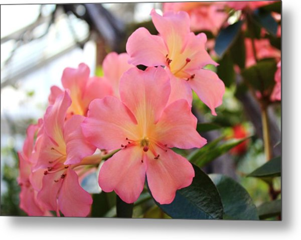 Pink And Yellow Vireya Metal Print