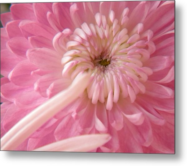 Pink Astra Metal Print by Alyona Firth