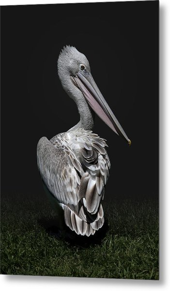 Pink-backed Pelican Rear View Metal Print