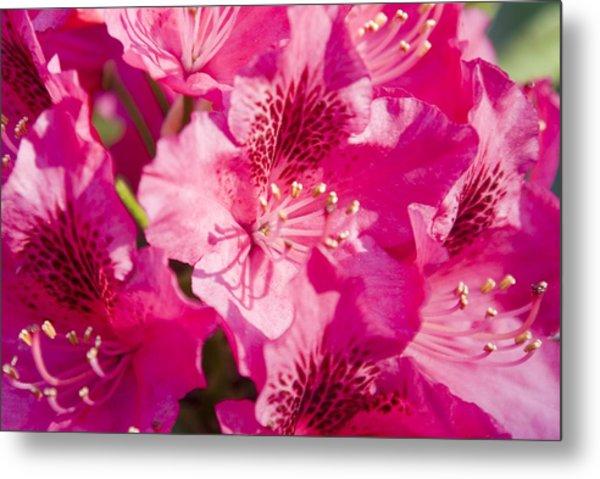 Pink Blooms Metal Print by Steve Kenney