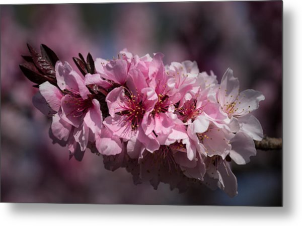 Cherry Blossoms Metal Print by Denise McKay