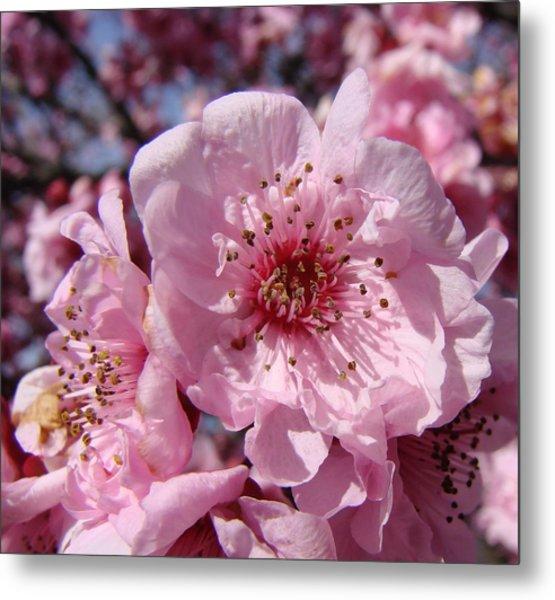 Pink Blossoms Metal Print by Liz Vernand