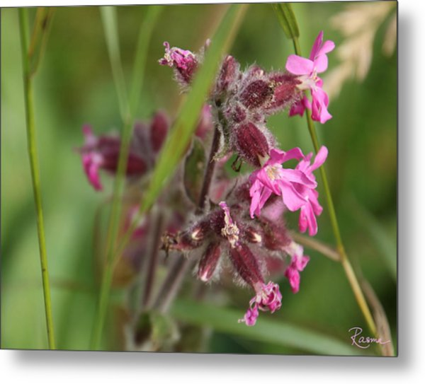Pink Campion In August Metal Print