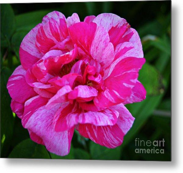 Pink Candy Stripe Rose Metal Print