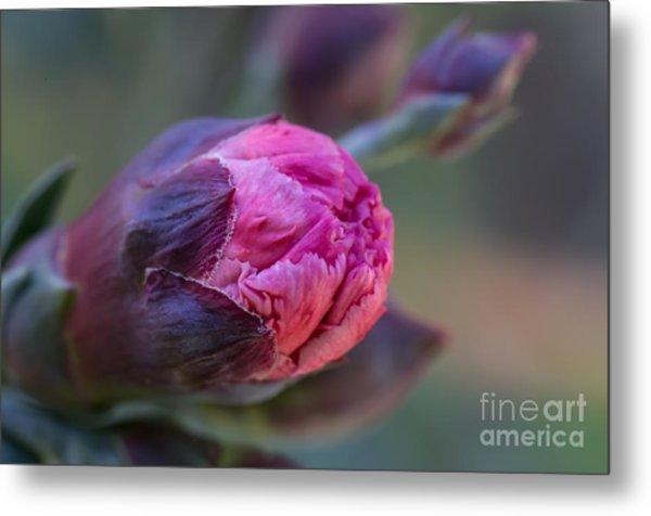 Pink Carnation Bud Close-up Metal Print