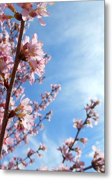 Pink Cherry Blossoms Branching Up To The Sky Metal Print