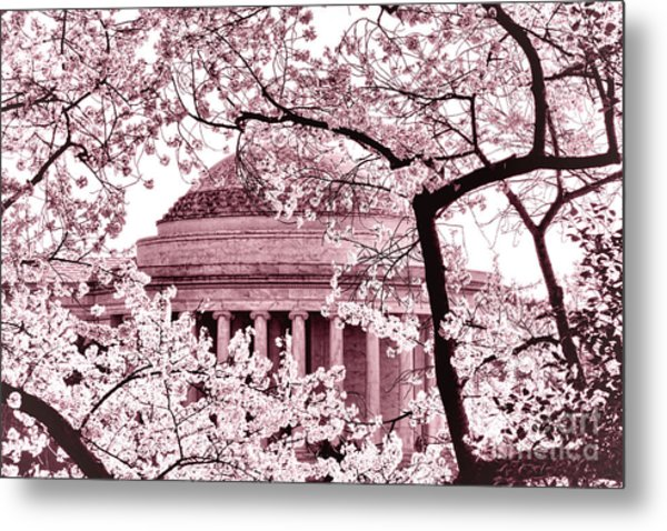 Pink Cherry Trees At The Jefferson Memorial Metal Print
