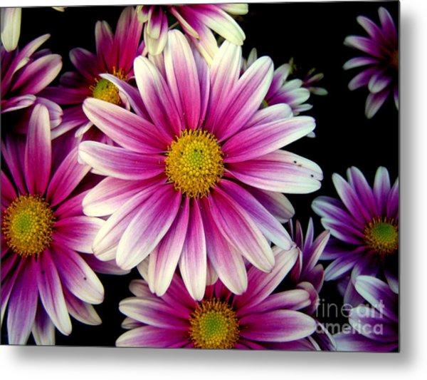 Pink Chrysanthemums Metal Print