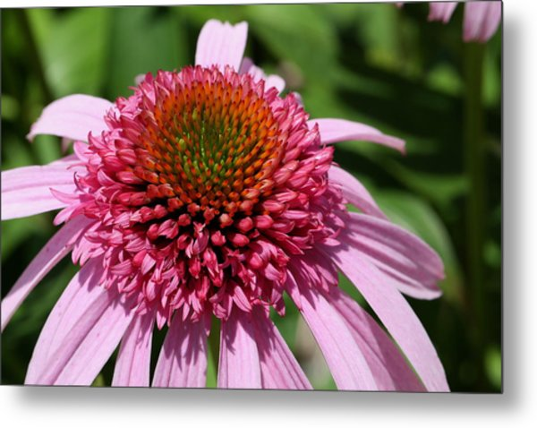 Pink Coneflower Close-up Metal Print
